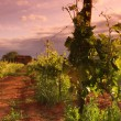 Vineyard in france on sunrise — Stockfoto #12879495