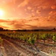 Stock Photo: Amazing Vineyard Sunset in france