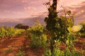 日の出でフランスのブドウ畑 — ストック写真