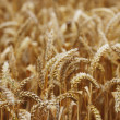 Wheat close up on farm field - Stock Photo