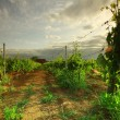 Vineyard in france on sunrise — Stockfoto #13159616