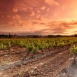 Orange Sky over Green Vineyard - Stock Photo