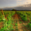 Vineyard in france on sunrise — Foto de stock #13729788