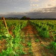 Vineyard in france on sunrise — Stock Photo