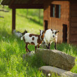 Goat on green grass - Stock Photo