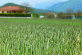 Early spring wheat field — Stock Photo
