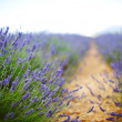 Lavender field — Stock Photo #13730359