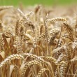 Wheat close up on farm field — Stok fotoğraf