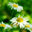 Camomile — Stock Photo #13893530