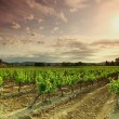 Orange Sky over Green Vineyard — Foto Stock