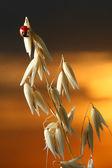 Coccinella di alba — Foto Stock