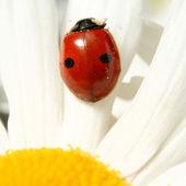 カモミールにてんとう虫 — ストック写真