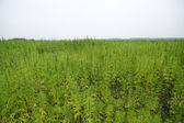Hemp field — Stock Photo