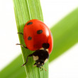 Stock Photo: Red ladybug