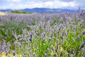 Lavender flowers close up — Stock Photo