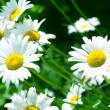 Camomile — Stock Photo #19400053
