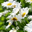 Camomile — Stock Photo #19762609