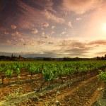 Orange Sky over Green Vineyard — Stock Photo