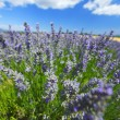 Lavender flowers close up — ストック写真 #21669635