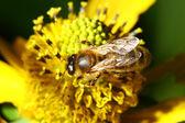 Work bee — Stock Photo