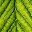Stock Photo: Green leaf vein