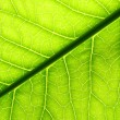Green leaf vein - 图库照片