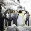 Emperor penguins — Stock Photo
