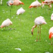 Pink flamingo on a green lawn — Stock Photo