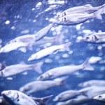 Mackerel — Stock Photo #24951159