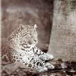 Leopard — Stock Photo #24951171