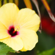 Yellow hibiscus flower - Stock Photo