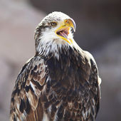 Spanish Imperial Eagle — Stock Photo