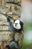 White-headed Marmoset sitting in a tree — Stock Photo