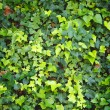 Green wall of Ivy leaves — Stock Photo