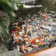 Koi fish in a pool - Photo