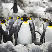 Emperor penguins — Stock Photo