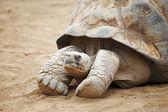 Tartaruga delle seychelles — Foto Stock