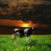 Krowa zachód słońca — Zdjęcie stockowe