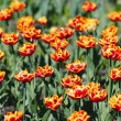 Red Orange Yellow Tulips - Photo