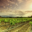 Orange Sky over Green Vineyard — Stok fotoğraf