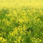 Green grass field — Stock Photo #26277571