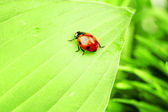 Ladybug on grass — Foto Stock