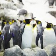 Emperor penguins — Stock Photo #27523905