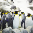 Stock Photo: Emperor penguins