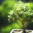 Bonsai — Stock Photo