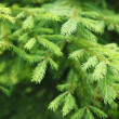 Fir tree — Foto de stock #29432021