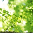 Green leaves of birch — Stock Photo