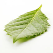 Leaf on white — Stock Photo