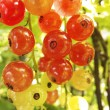 Red currants in the garden — Stock Photo #30048527