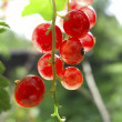 Red currants in the garden — Stock Photo #30048533